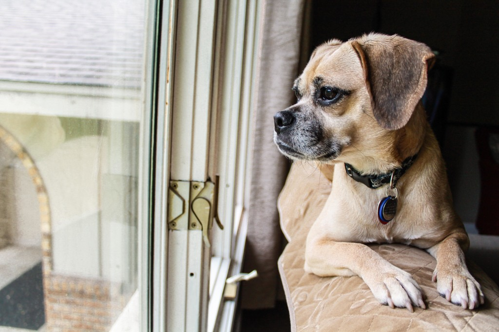 "This is our puggle, Lola. Also known as ""the dog that's always sitting in our window."""