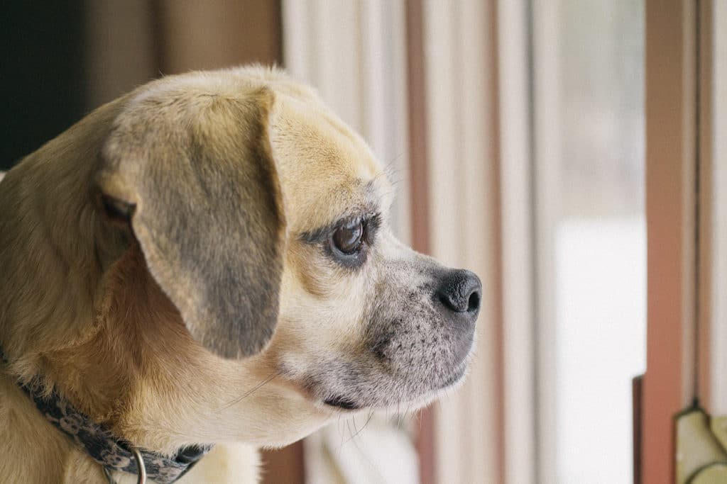 the puggle in her favorite window spot
